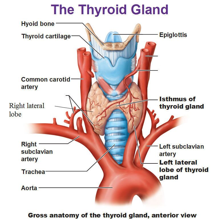 Anatomy of thyroidectomy 4275611 - follow4more.info